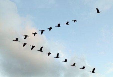 صور عن هجرة الطيور في سرب طيور مهاجرة روعة (3)