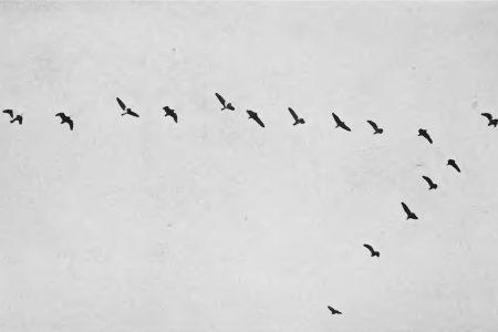 صور عن هجرة الطيور (2)