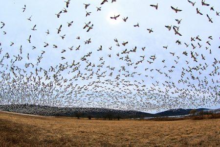 صور عن هجرة الطيور (4)