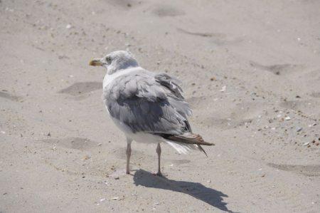 طائر النورس (2)
