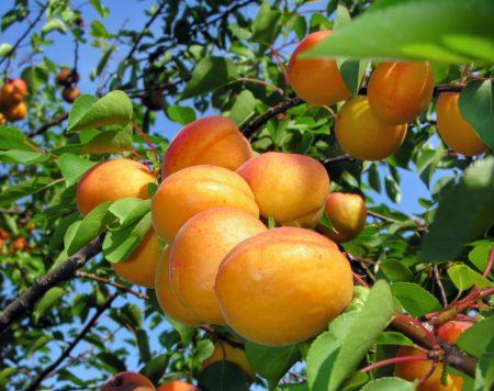 apricots photos (3)