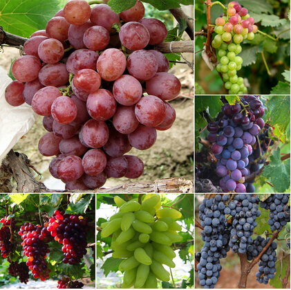 grapes wallpapers (2)
