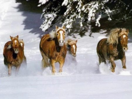 horses wallpapers (2)
