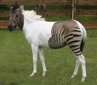 حصان ZEBRAA