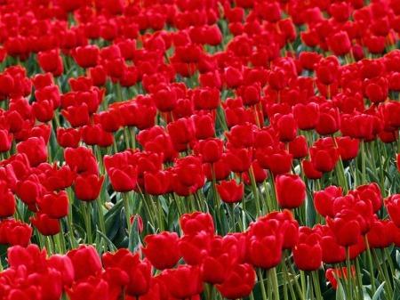 صور باقات ورد احمر