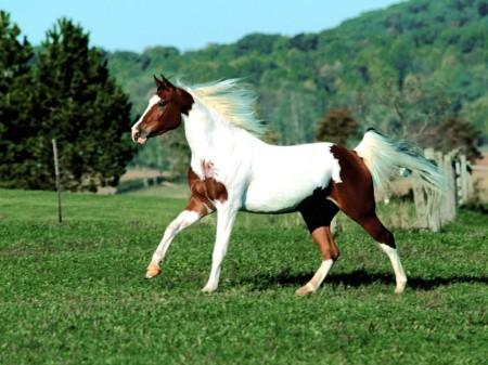 صور حصان عربي وبني