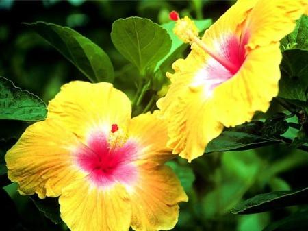 صور وردة اصفر