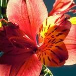 صور وردة جميلة
