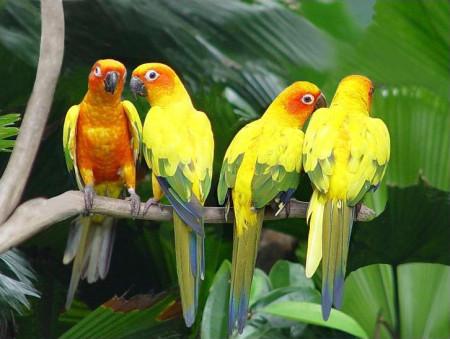 صور طيور اصفر