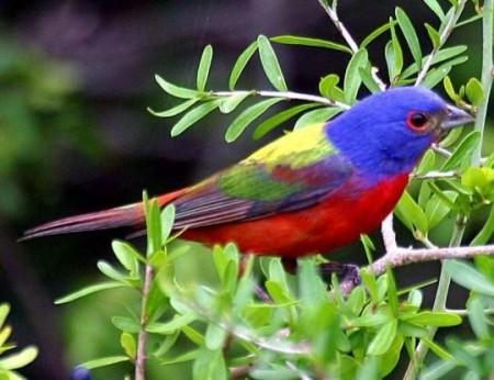 صور طيور الزينة (4)