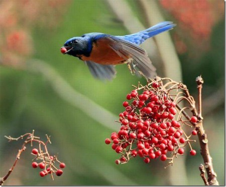 صور طيور حمر