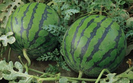 البطيخ (6)