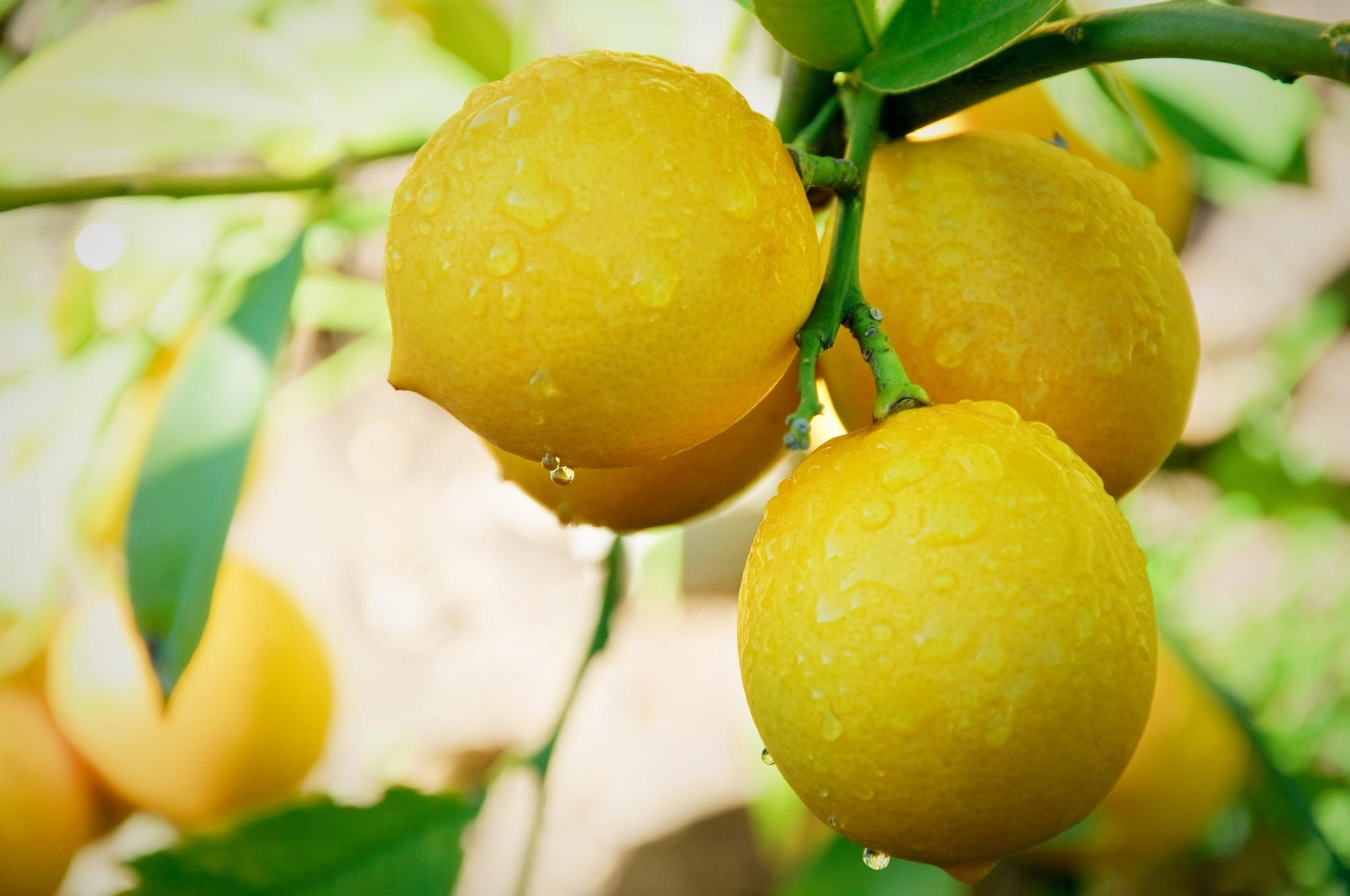 Лимоны обои на рабочий стол 1920х1080