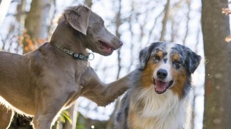 انواع كلاب (4)