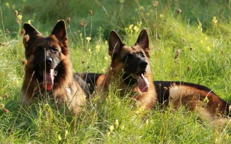 خلفيات كلاب (3)