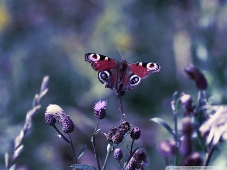 صور فراشات جميلة (3)