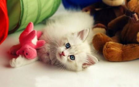 صور قطط بيضاء (6)