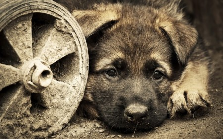 صور وخلفيات كلاب (3)