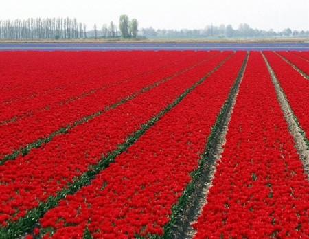 زهور باللون الاحمر والوردي (1)