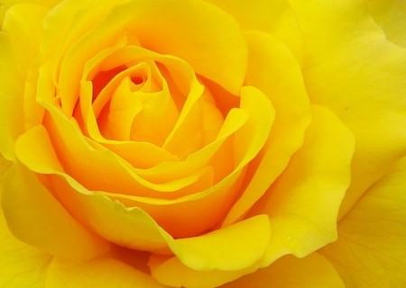 زهور باللون الاصفر (4)