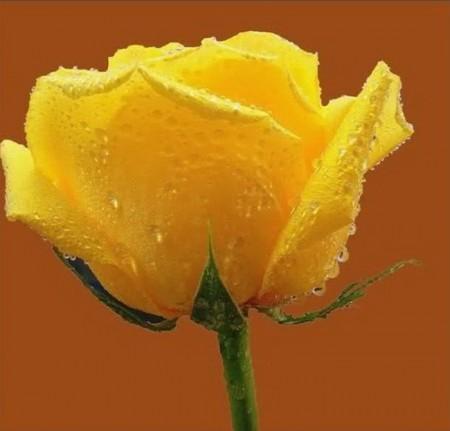 زهور باللون الاصفر (8)