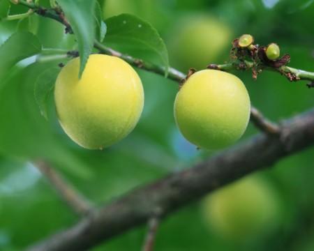 فاكهة الخوخ (4)