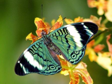 اجمل اشكال الفراشات الملونة (1)
