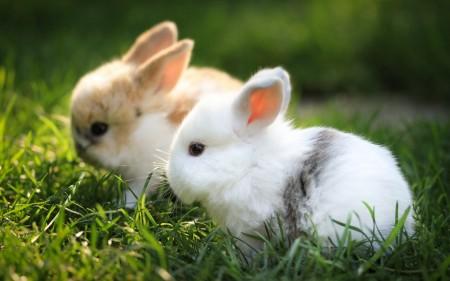 ارانب صغيرة (1)