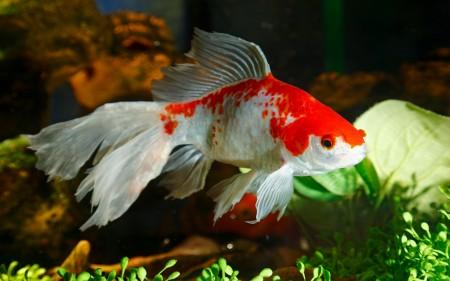الوان سمك زينة (4)