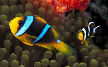 انواع اسماك الزينة الملونة (1)