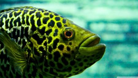 انواع اسماك الزينة الملونة (4)