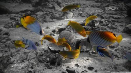 انواع اسماك الزينة الملونة (5)