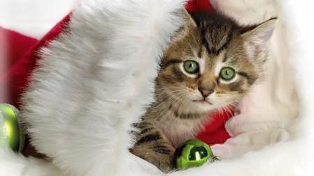 خلفيات صور قطط (2)