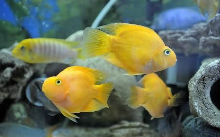 سمك زينة اصفر (1)