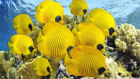 سمك زينة اصفر (4)