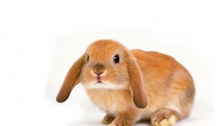 صور أرانب HD (4)