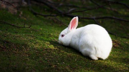 صور ارانب بيضاء (3)