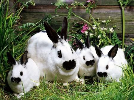 صور ارانب بيضاء (4)