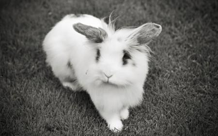 صور ارانب بيضاء (5)