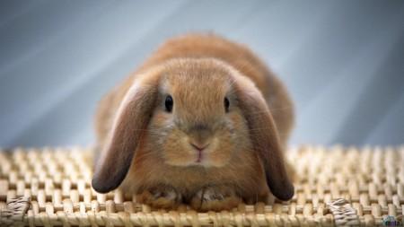صور ارانب خلفيات (5)