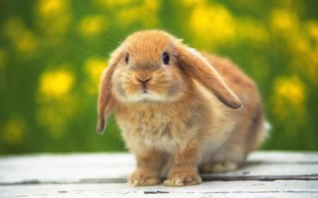 صور ارانب ملونة (3)
