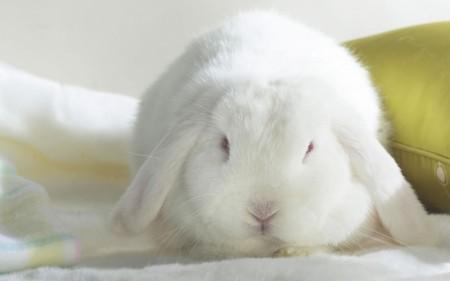 صور ارانب ملونة (5)