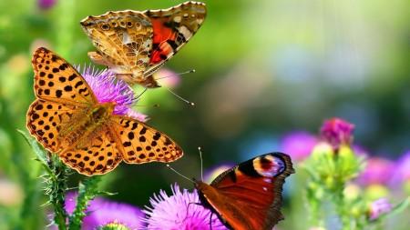 صور الفراشات (1)