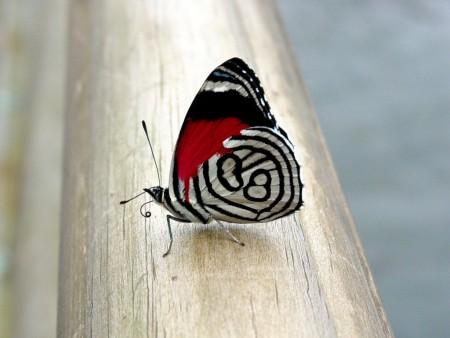 صور الفراشات (3)