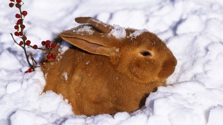 صور خلفيات الأرانب (1)