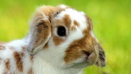 صور خلفيات الأرانب (3)