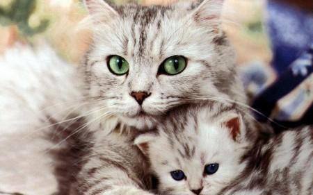 صور قطط بيضاء (2)
