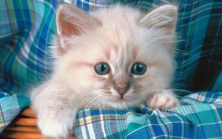صور قطط بيضاء (3)