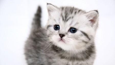 صور قطط بيضاء (4)