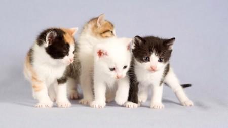 صور قطط بيضاء (5)